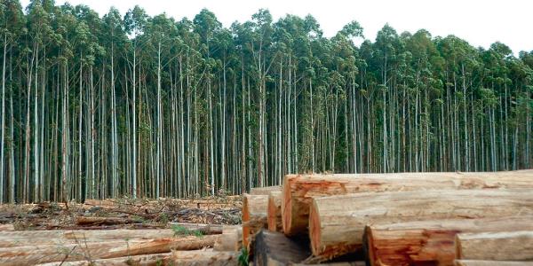 Vaca Verde: El potencial de la foresto-industria local para la producción de papel